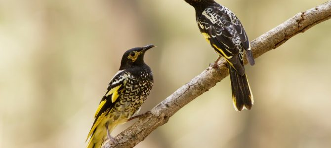 The Honeyeaters are losing their songs… Here is a prayer for them